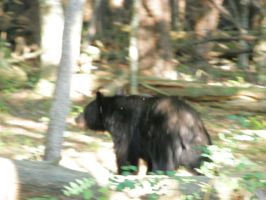black bear 5 by redtailhawker