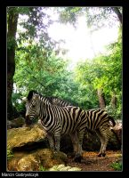 Trip to ZOO : Zebras by MarcinG1