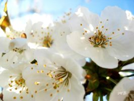 Cherry tree blossom 3 by Lady-Deliah