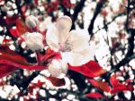 Apple Blossoms2 by screenname911
