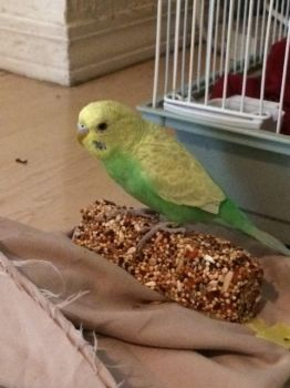 Birb named Pepita by Delchera