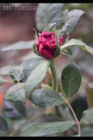rose07 by B-Alsha3er