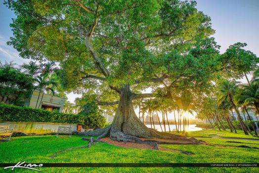 Kapok-Tree-at-Palm-Beach-Island-Flagler-Museum by CaptainKimo
