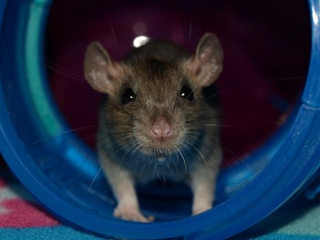 Baby Rat Whiskers by salembaby