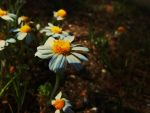 chamomile flower to you by maryapasol