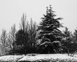 Snowy Trees by Taking-St0ck