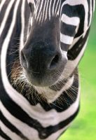 Zebra by PenguinPhotography