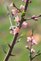 Young Peach Blossoms - 2015 by CrystalMarineGallery