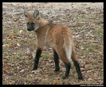 Maned Wolf Puppy again by leopatra-lionfur