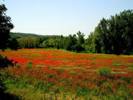 poppies in the tuscany by Spry01