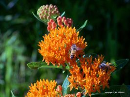 Butterfly Weed and Bees by JamDebris