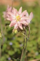 Aquilegia vulgaris 'Rose Barlow' by Flicksi