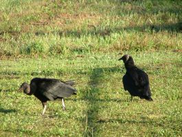 Vultures 084 by TheGreatWiseAss