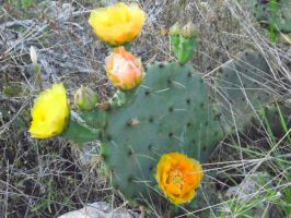 Cactus Flowers by TheGerm84