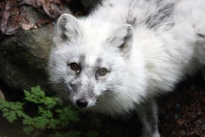 Arctic Fox by dbvictoria
