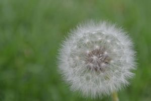 Little puffball of wishes by Bellastar4n6