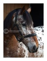 Portrait of an Appaloosa by timeforachange