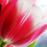 Tulip 01 by s-kmp