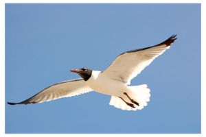 laughing gull by photom17