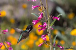 Costa's Hummingbird by adanielescu