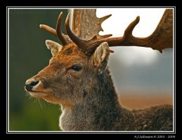Deer by andy-j-s
