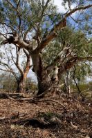 River Redgum by Bjay70
