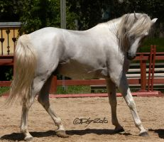Andalusian Stallion - 46 by ElaineSeleneStock