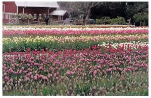 Rows of Tulips Against a Barn by daughtercrow
