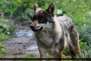 European Wolf 251 by Canisography