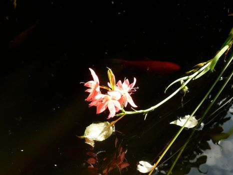 Flower upon the pond by cocktail-molotov