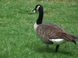 canadian goose by kayas-stock