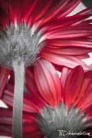 Red gerbera 1 by TTKC