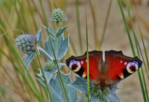 peacock on a thistle by Dieffi