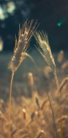 Wheat by HendrikMandla