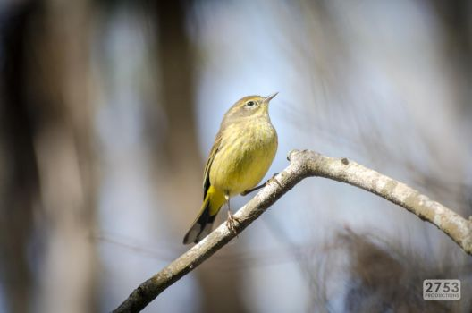 Prairie Warbler by 2753Productions