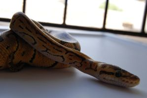 Lemon Blast Ball Python 8 by FearBeforeValor