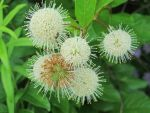 Common Buttonbush 3 by Windthin