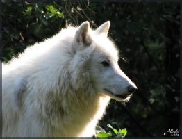Arctic wolf: Perfect profile by Allerlei