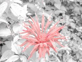 Indian Paint Brush Close up Filtered by parkins73