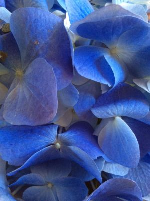 Hydrangea blues by Rosalind6463
