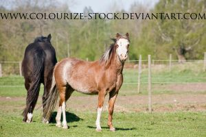 Welsh Mare 1 by Colourize-Stock