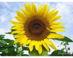 Sunflower by love1008