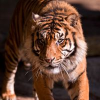 Mogo Zoo Tiger by FireflyPhotosAust