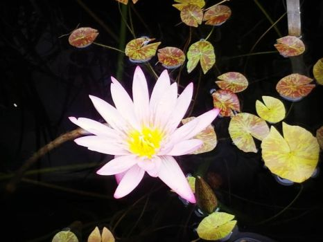 Waterlily by The-Singing-Fruit