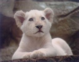 White Lion Cub by TinyTiger