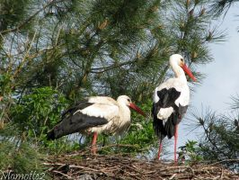 White storks in nest by Momotte2