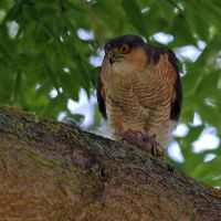Sparrow Hawk by robbobert