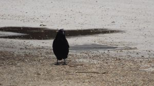 Crow in the Frimley Lodge Car Park by Dan-S-T