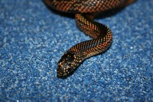 Goins king snake by boakid