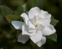 D70 Playing - White Flower by hansepe